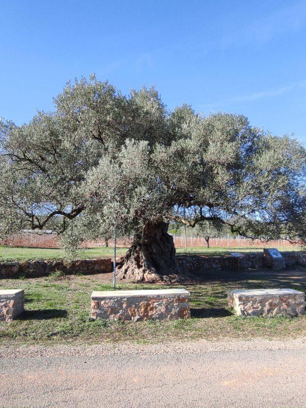 olivera la morruda